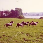 Pferde-auf-Seewiese-1973